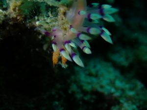 Flabellina Nudibranch - 28 July 2019